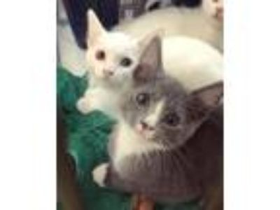 Adopt Emerald a Gray or Blue (Mostly) Domestic Shorthair (short coat) cat in