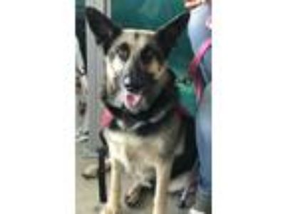 Adopt Lady a Black - with Tan, Yellow or Fawn German Shepherd Dog / Husky /