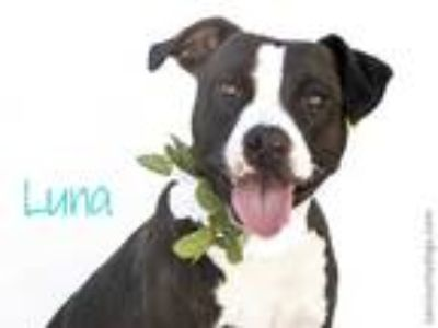 Adopt LUNA a Black - with White American Pit Bull Terrier / Mixed dog in