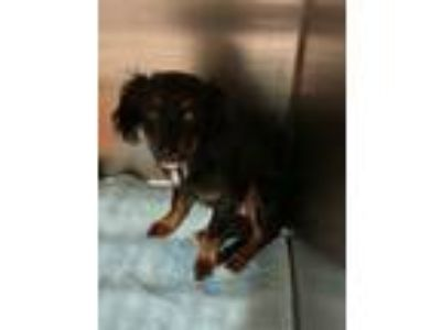 Adopt PEAGREEN a Spaniel (Unknown Type) / Terrier (Unknown Type