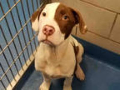 Adopt RUGER a White - with Black American Pit Bull Terrier / Mixed dog in