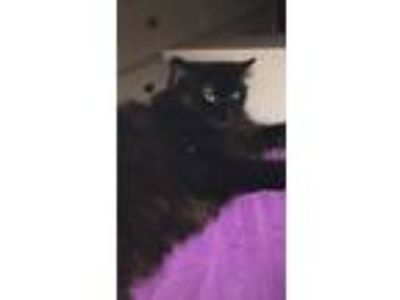 Adopt Willow a All Black Domestic Longhair / Mixed cat in Fayetteville