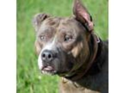 Adopt Iro a Pit Bull Terrier, Mixed Breed