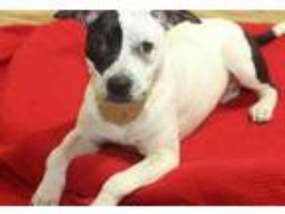 Adopt Dollie a Labrador Retriever / Mixed dog in Rossville, TN (23761984)