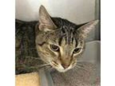 Adopt Dennis a Gray or Blue Domestic Shorthair / Domestic Shorthair / Mixed cat