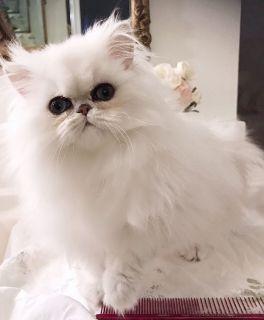 Persian kittens Chinchilla Shaded Silvers