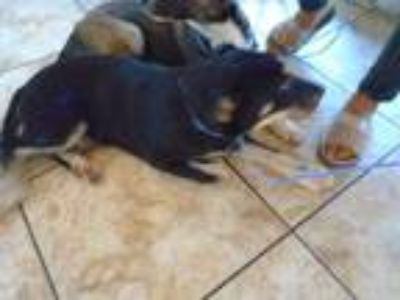 Adopt Clyde a Black Mixed Breed (Large) / Mixed dog in Georgetown, TX (25578155)