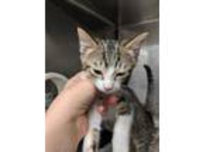 Adopt Kitten 2 ADOPTED GOMEZ a Brown or Chocolate Domestic Shorthair / Domestic
