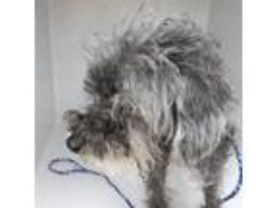 Adopt a Black - with Gray or Silver Poodle (Miniature) / Mixed dog in Houston