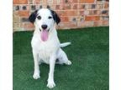 Adopt Millie a Border Collie, Spaniel