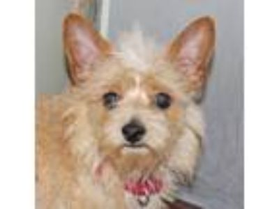 Adopt Fitz Roy a Tan/Yellow/Fawn Terrier (Unknown Type, Small) / Mixed dog in