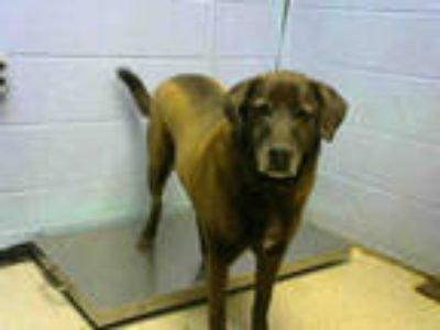 Adopt DUSTY a Brown/Chocolate Labrador Retriever / Mixed dog in Atlanta