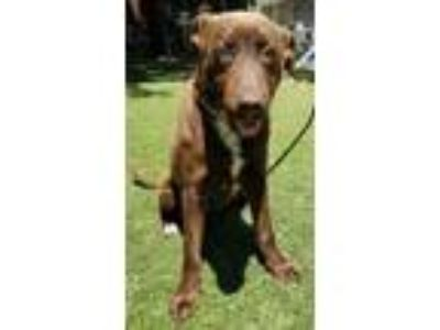 Adopt Cassidy a Brown/Chocolate Retriever (Unknown Type) / Mixed dog in