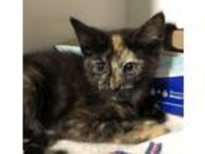 Adopt Lucky Charms a Domestic Shorthair / Mixed cat in Oceanside, CA (25513064)
