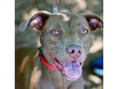 Adopt Ella a Brown/Chocolate American Staffordshire Terrier / Labrador Retriever