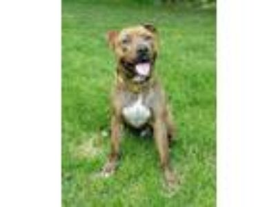 Adopt Archie a Pit Bull Terrier