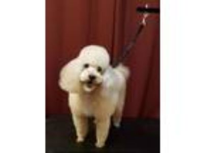 Adopt Riley a Poodle