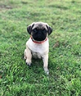 Adorable male and female Pug puppies REady to go for adoption to good pets homes.