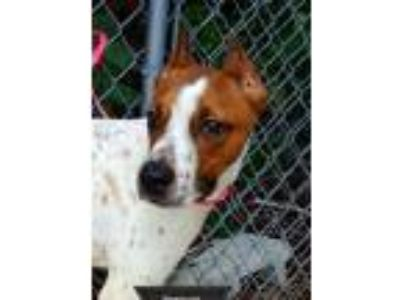 Adopt Donovan a Terrier, Pointer