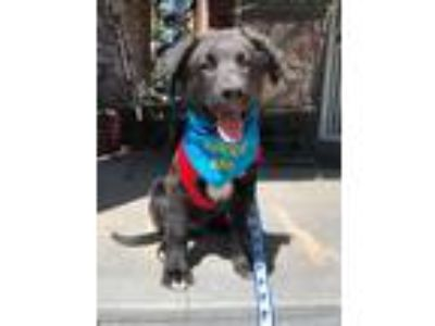 Adopt Barracuda a Black - with White Labrador Retriever / Border Collie dog in
