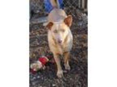 Adopt Demi a Labrador Retriever