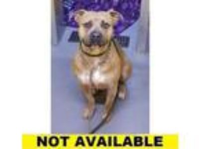 Adopt Decker a Tan/Yellow/Fawn American Pit Bull Terrier / Mixed dog in Eugene