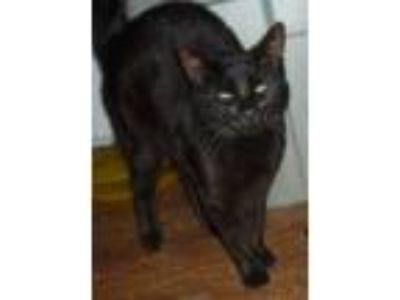 Adopt Mongo a All Black Bengal (short coat) cat in Dallas, TX (21655876)