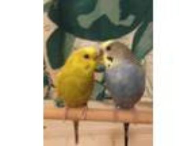 Adopt Sunny & Blueberry a Parakeet (Other)