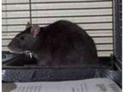 Adopt MOONEY a Tan or Beige Rat / Mixed small animal in Slinger, WI (25736359)