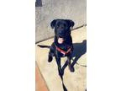 Adopt Hunter a Black Labrador Retriever / Mixed dog in Moreno Valley