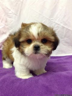 uokliuy Shih Tzu Puppies Ready for sale