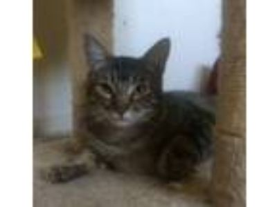 Adopt Lumiere a Domestic Medium Hair, Tabby