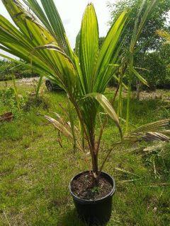 PALMS!BOUGAINVILLEA!PRIVACY PLANTS MEGA SALE 10 ACRES OF BEAUTY