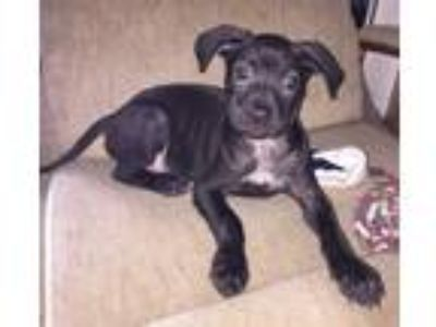 Adopt Jazzie a Black Terrier (Unknown Type, Medium) / Blue Heeler dog in