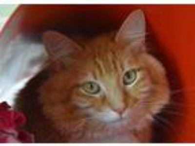 Adopt RONALD a Orange or Red Tabby Domestic Longhair / Mixed (long coat) cat in