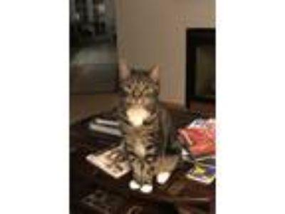 Adopt Kona a Brown Tabby American Shorthair cat in Coronado, CA (24786658)
