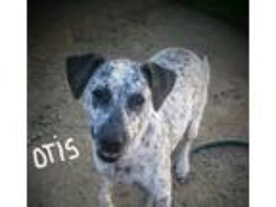 Adopt OTIS a Brown/Chocolate - with White Pointer / Mixed dog in Santa Clarita