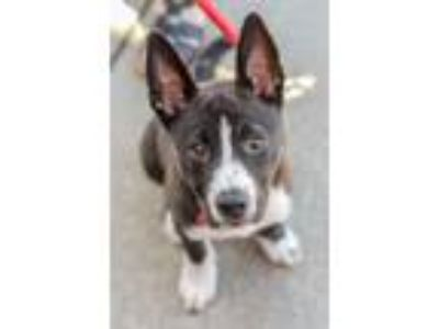 Adopt Asher a Border Collie