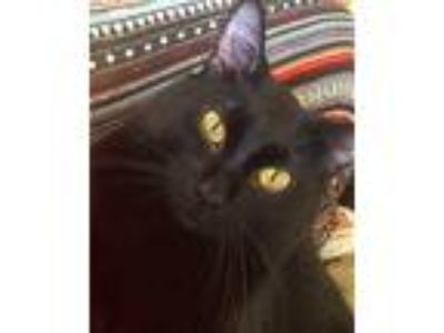Adopt Lando a All Black Bombay cat in Chandler, AZ (25301301)