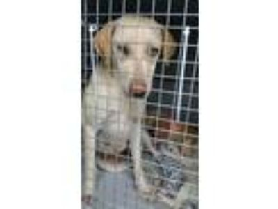Adopt Hope a Tan/Yellow/Fawn Labrador Retriever / Hound (Unknown Type) / Mixed