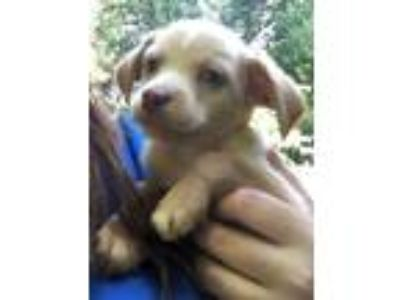 Adopt Gumbeaux a Tan/Yellow/Fawn - with White Dachshund / Terrier (Unknown Type