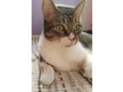 Adopt Butterball a Tabby, Domestic Short Hair