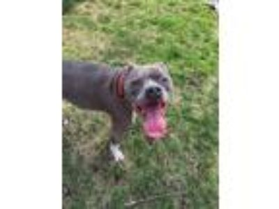 Adopt Blue a Gray/Blue/Silver/Salt & Pepper American Staffordshire Terrier /