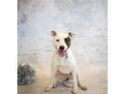 Adopt Pen 163 Jelly a Labrador Retriever, Pit Bull Terrier