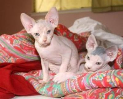 Outstanding Hairless Sphynx Kittens Now Ready For Adoption