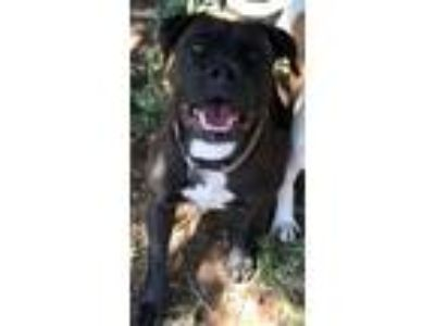 Adopt BUFFY a Brown/Chocolate - with White American Staffordshire Terrier /