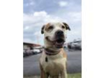 Adopt Janney a Pit Bull Terrier, Mixed Breed