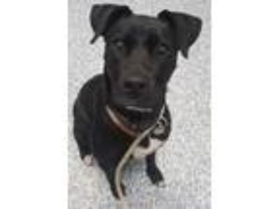 Adopt Hanna a Labrador Retriever / Mixed dog in Angola, IN (25295048)