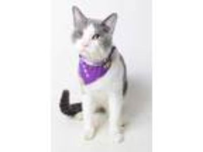 Adopt 18-1927C Dick Tracy a Gray or Blue Domestic Shorthair / Domestic Shorthair