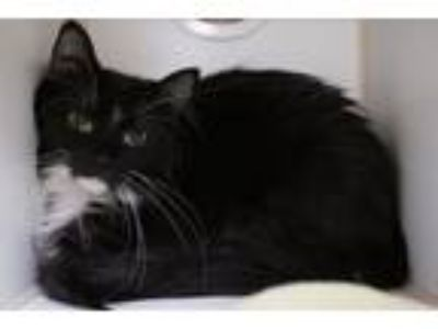 Adopt Mama Cats a Domestic Medium Hair